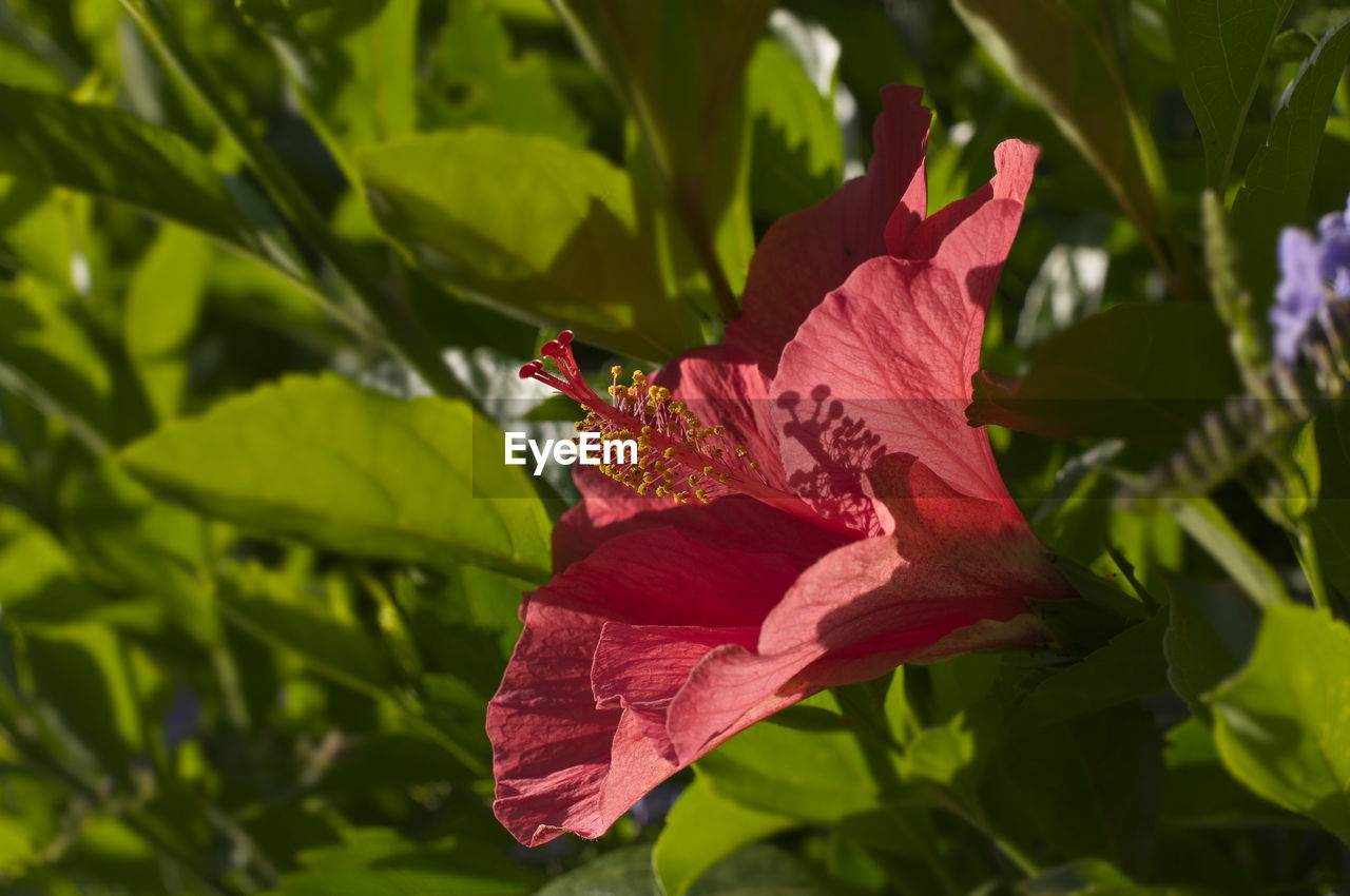 leaf, nature, petal, growth, outdoors, fragility, beauty in nature, close-up, red, green color, day, no people, flower, freshness, hibiscus, flower head
