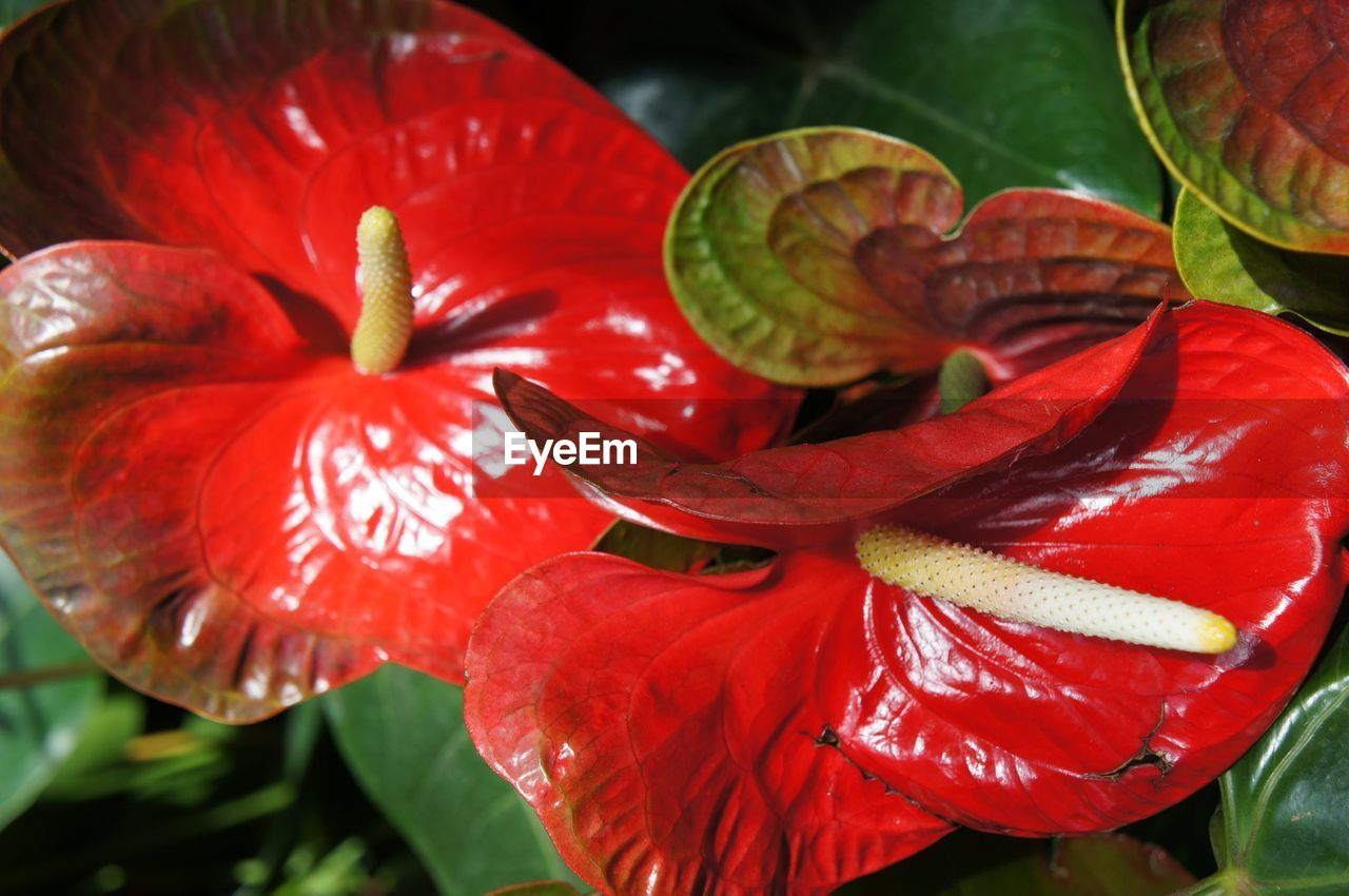 CLOSE-UP OF RED HIBISCUS BLOOMING