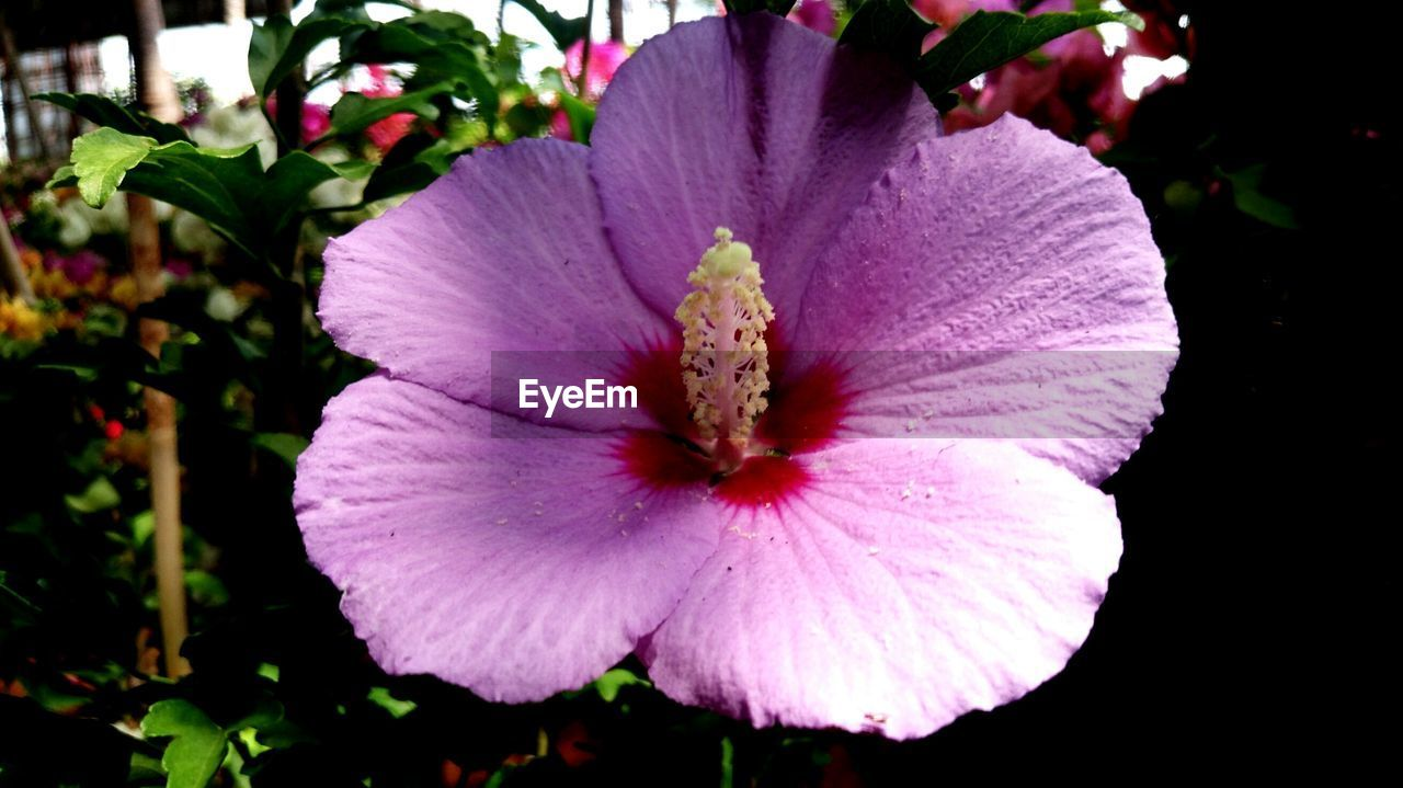 flower, petal, flower head, fragility, nature, beauty in nature, freshness, plant, growth, pollen, blooming, stamen, no people, close-up, outdoors, hibiscus, day