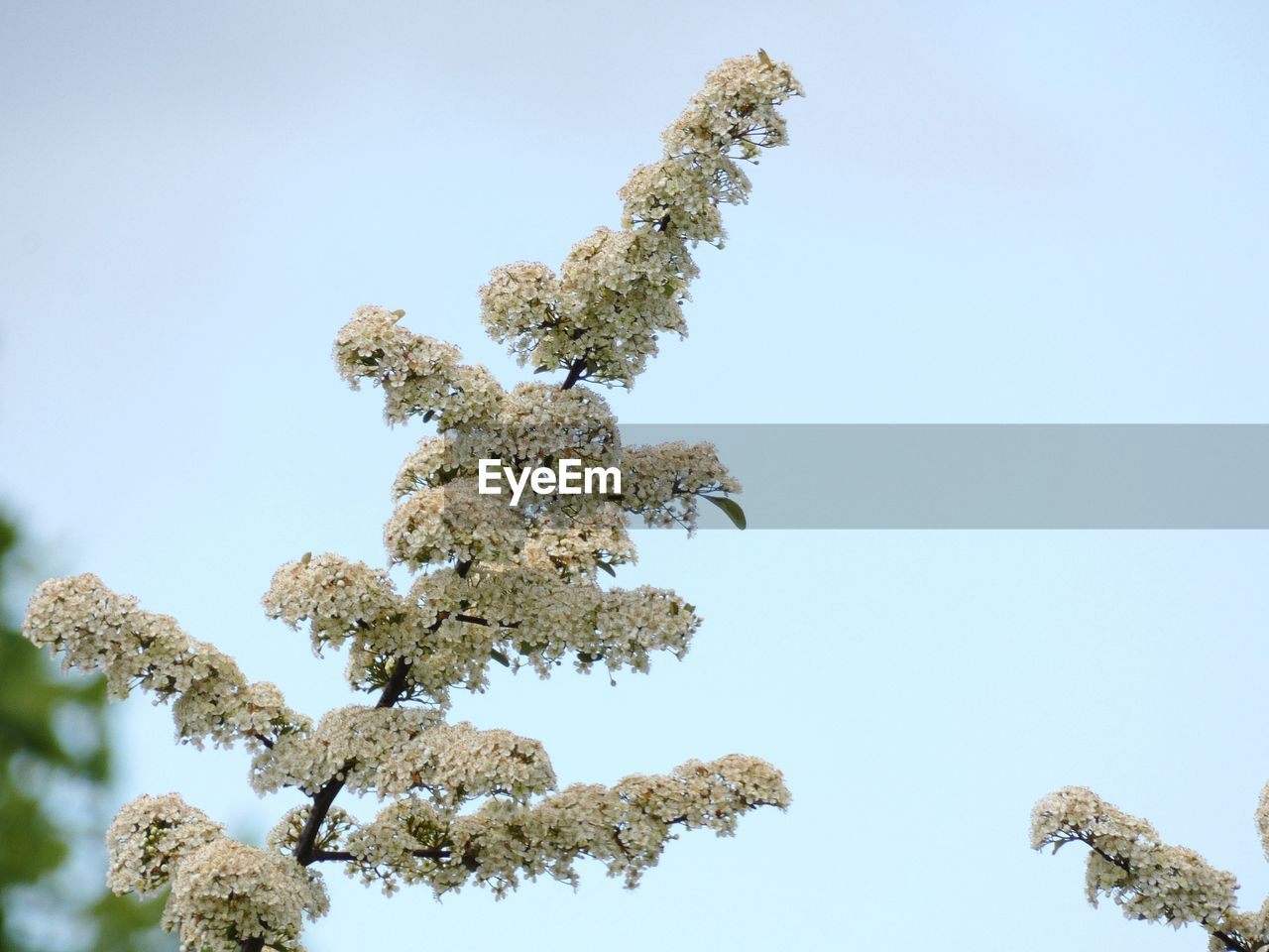 low angle view, sky, plant, no people, tree, nature, beauty in nature, clear sky, day, growth, tranquility, outdoors, blue, copy space, sunlight, close-up, cold temperature, scenics - nature, snow, white color, coniferous tree, lichen
