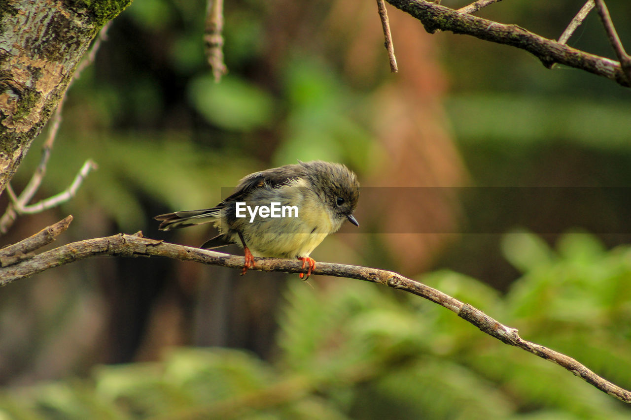 animal themes, one animal, animal, bird, vertebrate, animals in the wild, animal wildlife, perching, focus on foreground, plant, branch, tree, close-up, day, no people, nature, outdoors, plant part, zoology, leaf