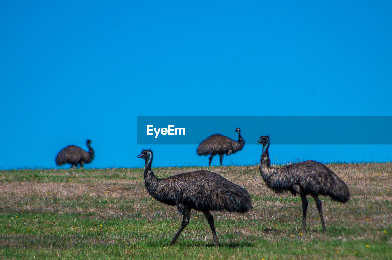 animals in the wild, blue, animal themes, animal wildlife, clear sky, nature, copy space, grass, day, bird, outdoors, no people, beauty in nature, scenics, ostrich, mammal