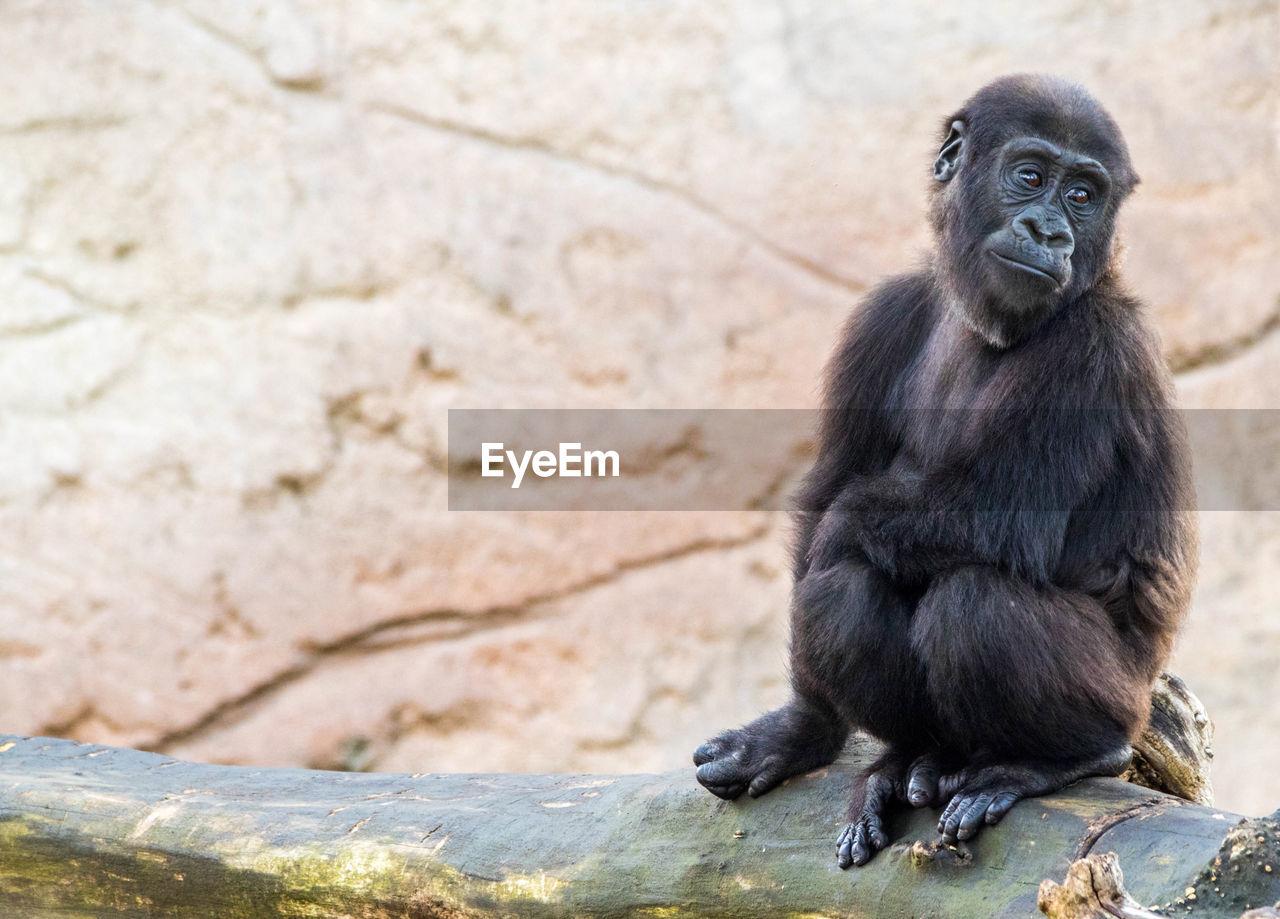 Portrait of gorilla sitting outdoors