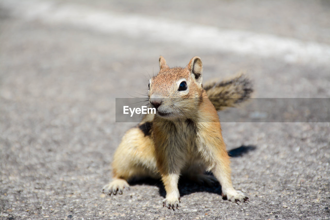 animal themes, animal, one animal, animal wildlife, rodent, mammal, animals in the wild, vertebrate, squirrel, no people, day, nature, land, chipmunk, portrait, looking at camera, close-up, focus on foreground, outdoors, field, whisker