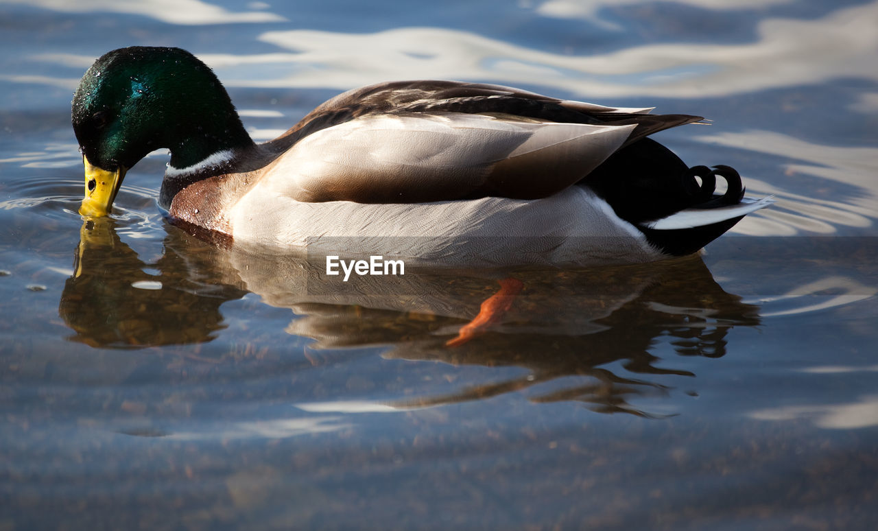 Side View Of Duck In Lake