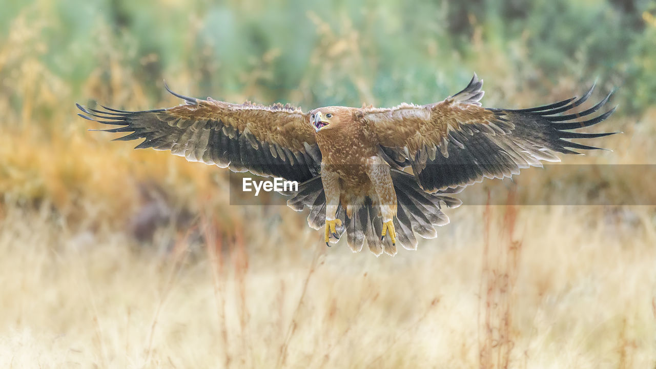 Close-Up Of Golden Eagle Flying Over Field