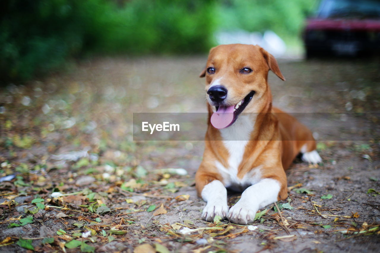 one animal, canine, dog, animal themes, animal, domestic, pets, domestic animals, mammal, vertebrate, day, land, no people, field, sitting, portrait, brown, looking, focus on foreground, nature, outdoors, mouth open, panting