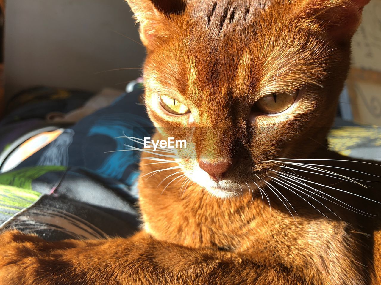 domestic, pets, domestic animals, mammal, animal, animal themes, cat, one animal, domestic cat, feline, vertebrate, close-up, whisker, no people, indoors, animal body part, looking away, focus on foreground, looking, portrait, animal head, ginger cat, animal eye, tabby