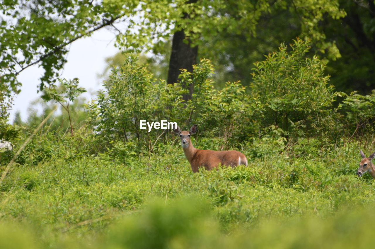 plant, animal, animal themes, animal wildlife, mammal, tree, land, one animal, green color, nature, animals in the wild, growth, vertebrate, selective focus, day, no people, field, forest, deer, outdoors, herbivorous