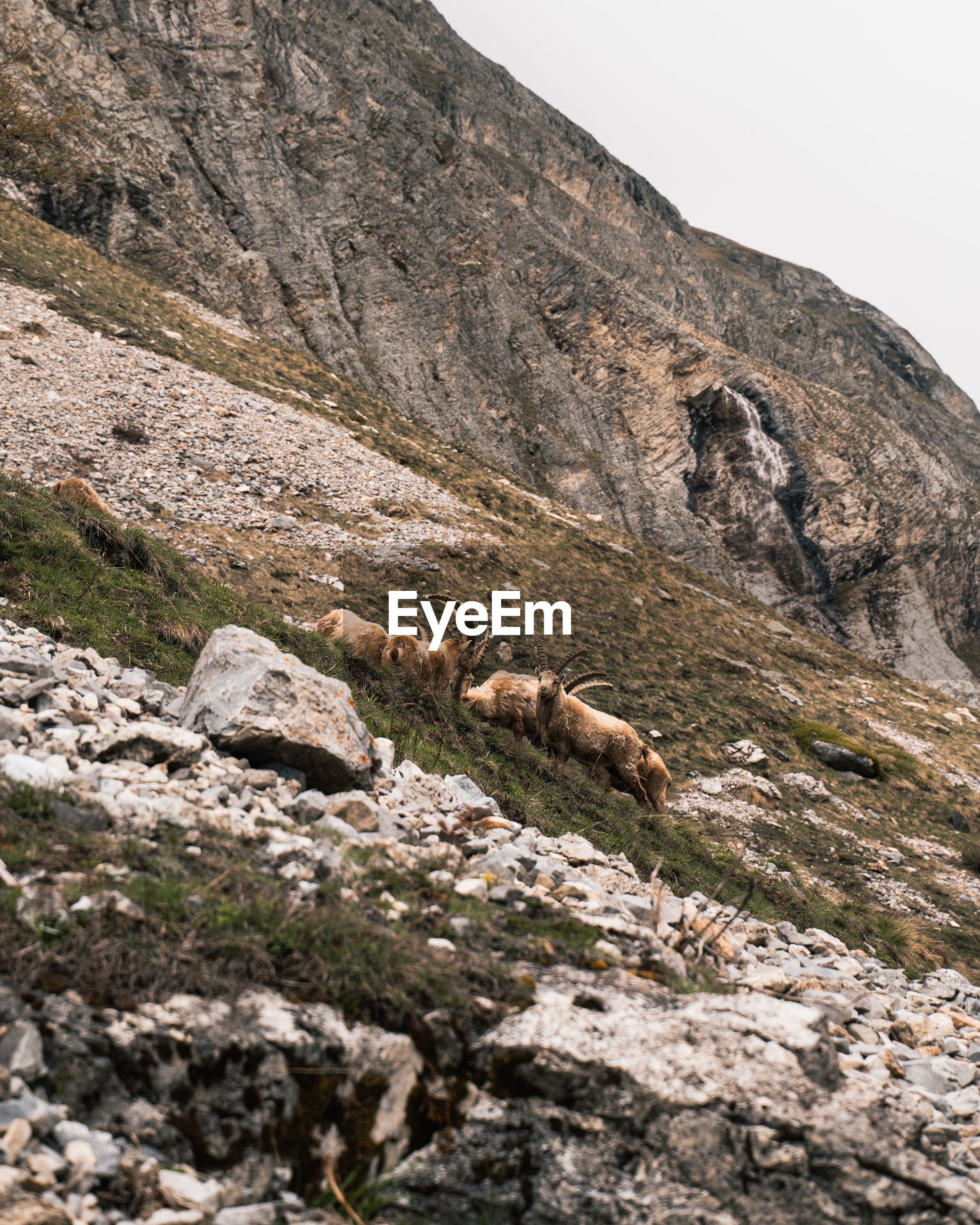 View of alpine ibex group on mountain against sky