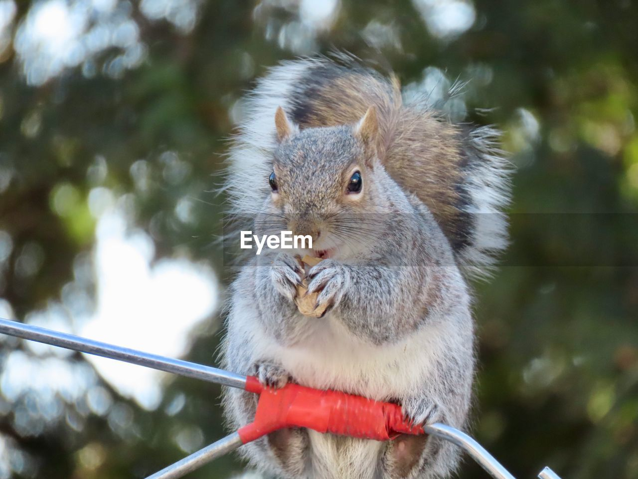 animal themes, animal wildlife, animal, one animal, mammal, rodent, animals in the wild, focus on foreground, squirrel, day, close-up, no people, vertebrate, eating, nature, outdoors, holding, food, tree, whisker