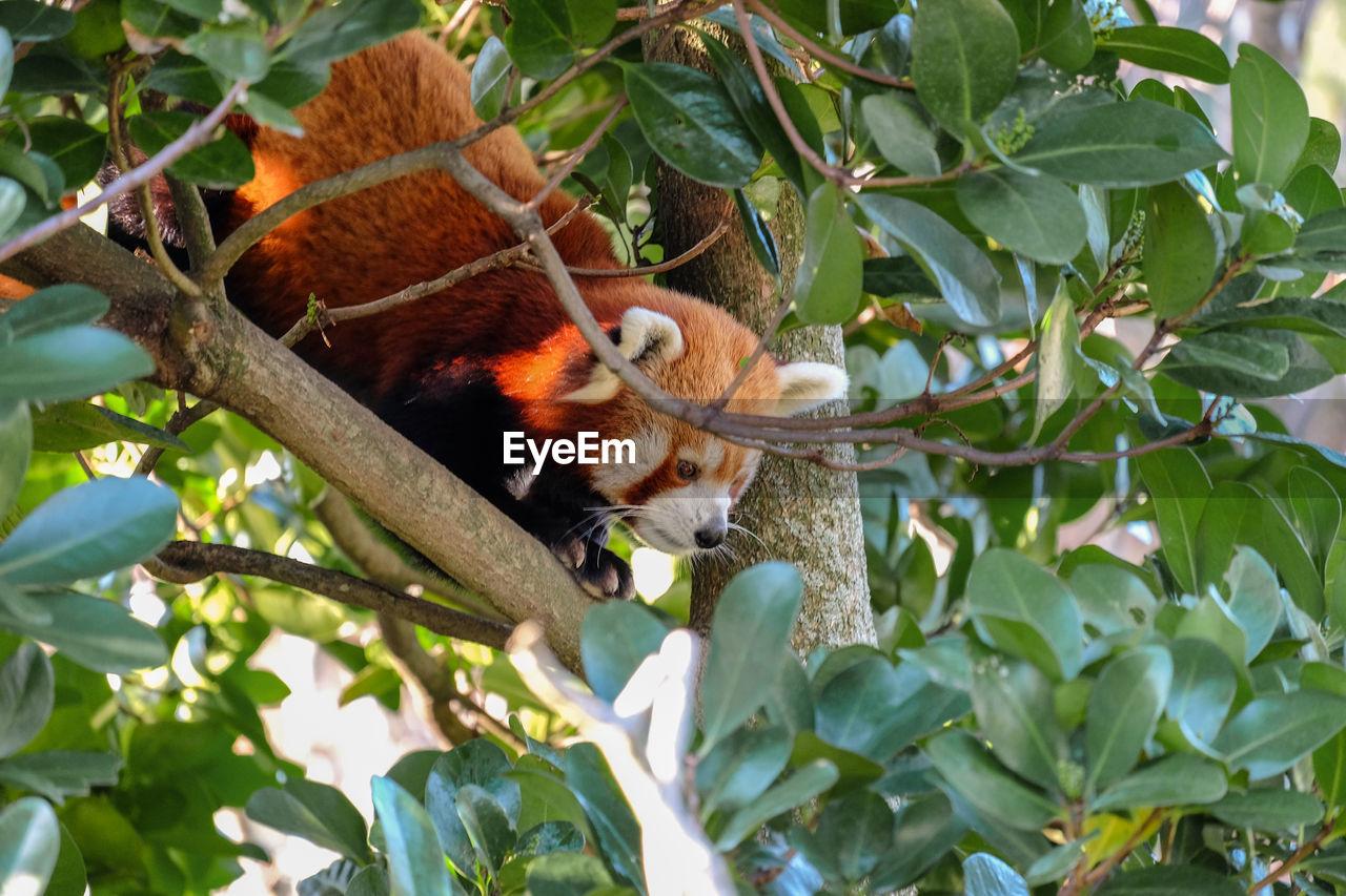 Red Panda Sitting On Branch