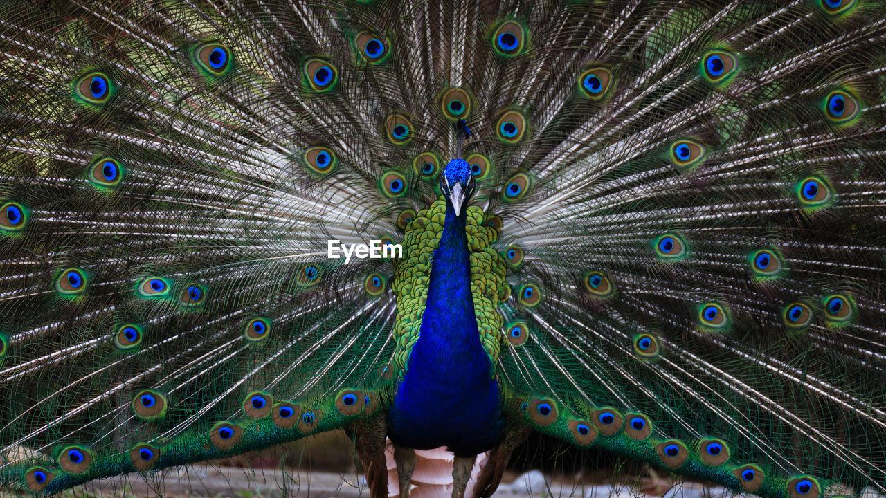 Close-Up Of Peacock Dancing
