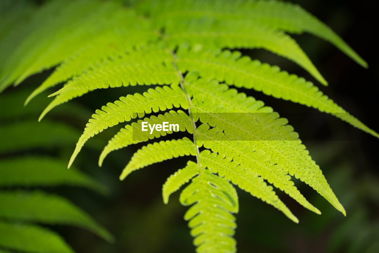green color, plant part, leaf, plant, growth, beauty in nature, close-up, selective focus, nature, fern, day, focus on foreground, no people, natural pattern, outdoors, leaf vein, sunlight, tranquility, pattern, freshness, leaves