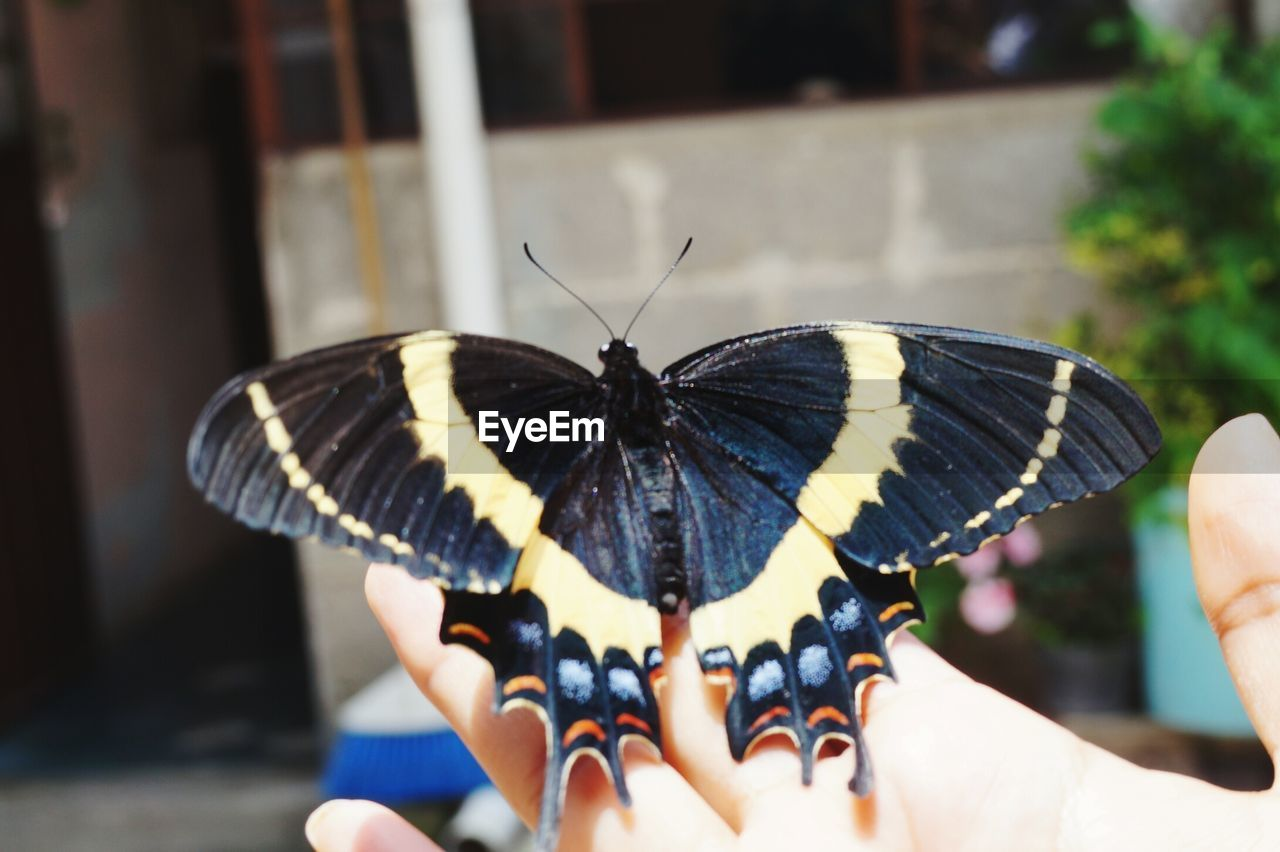 real people, human hand, human body part, one person, holding, butterfly - insect, one animal, focus on foreground, animal themes, animals in the wild, close-up, day, outdoors, freshness, people