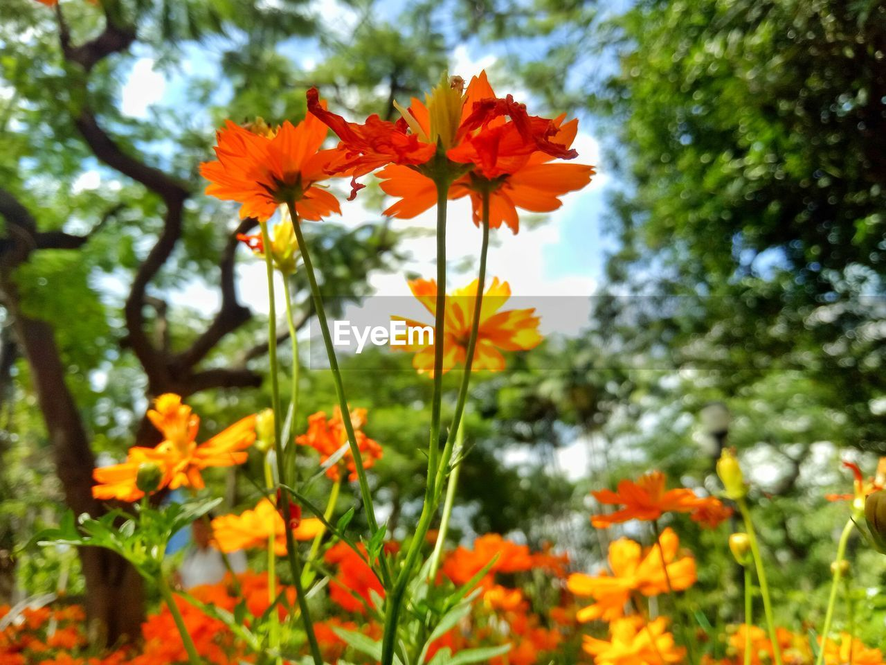 Close-Up Of Orange Cosmos Flowers Blooming On Field
