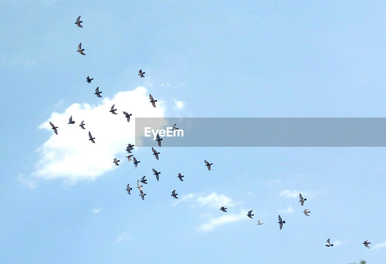 flying, group of animals, large group of animals, sky, animal, animal themes, vertebrate, animal wildlife, low angle view, animals in the wild, bird, flock of birds, nature, cloud - sky, day, beauty in nature, mid-air, no people, blue, outdoors