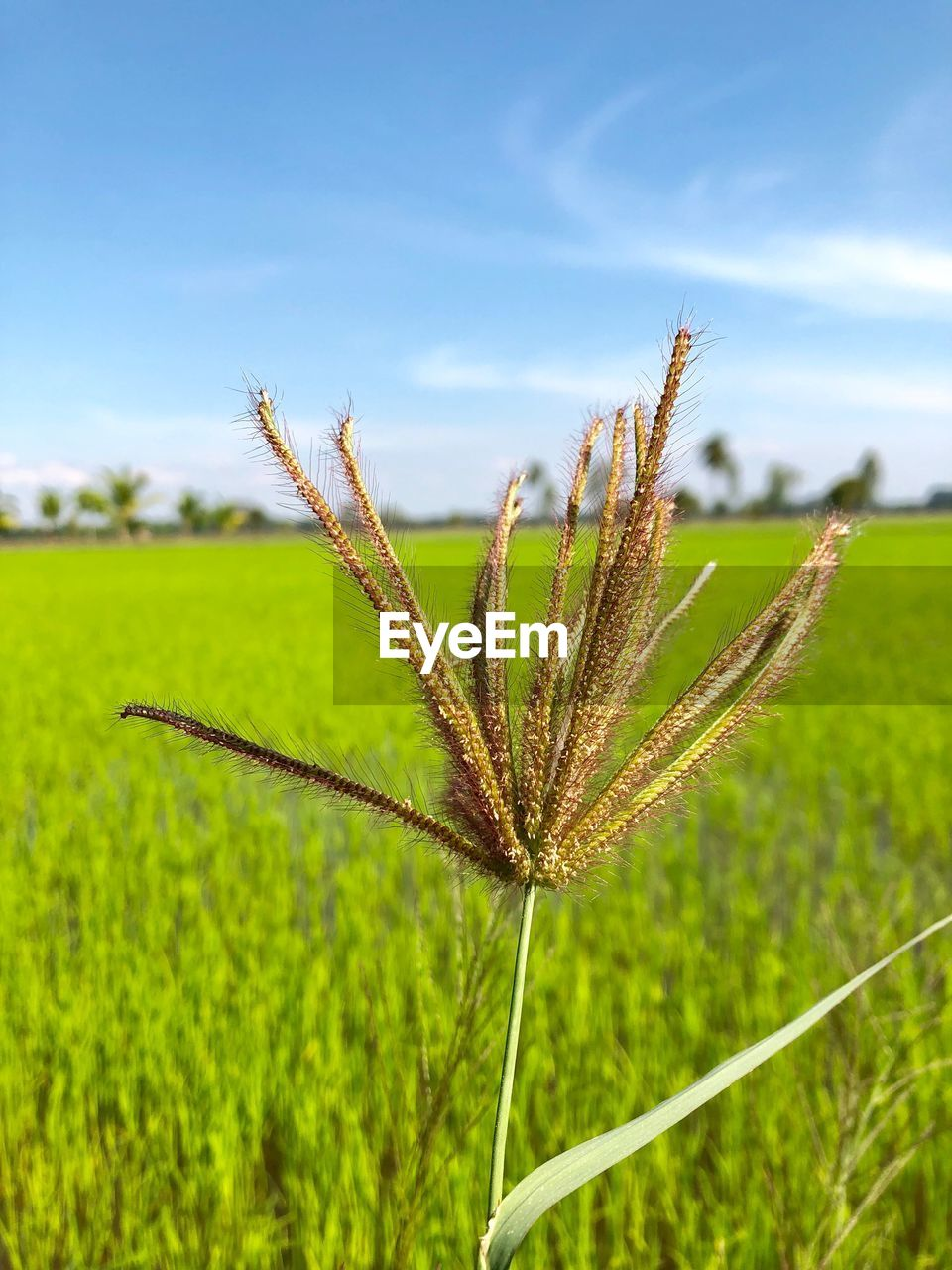 plant, growth, green color, field, beauty in nature, land, nature, agriculture, sky, focus on foreground, close-up, crop, no people, tranquility, grass, landscape, farm, day, environment, rural scene, outdoors, plantation