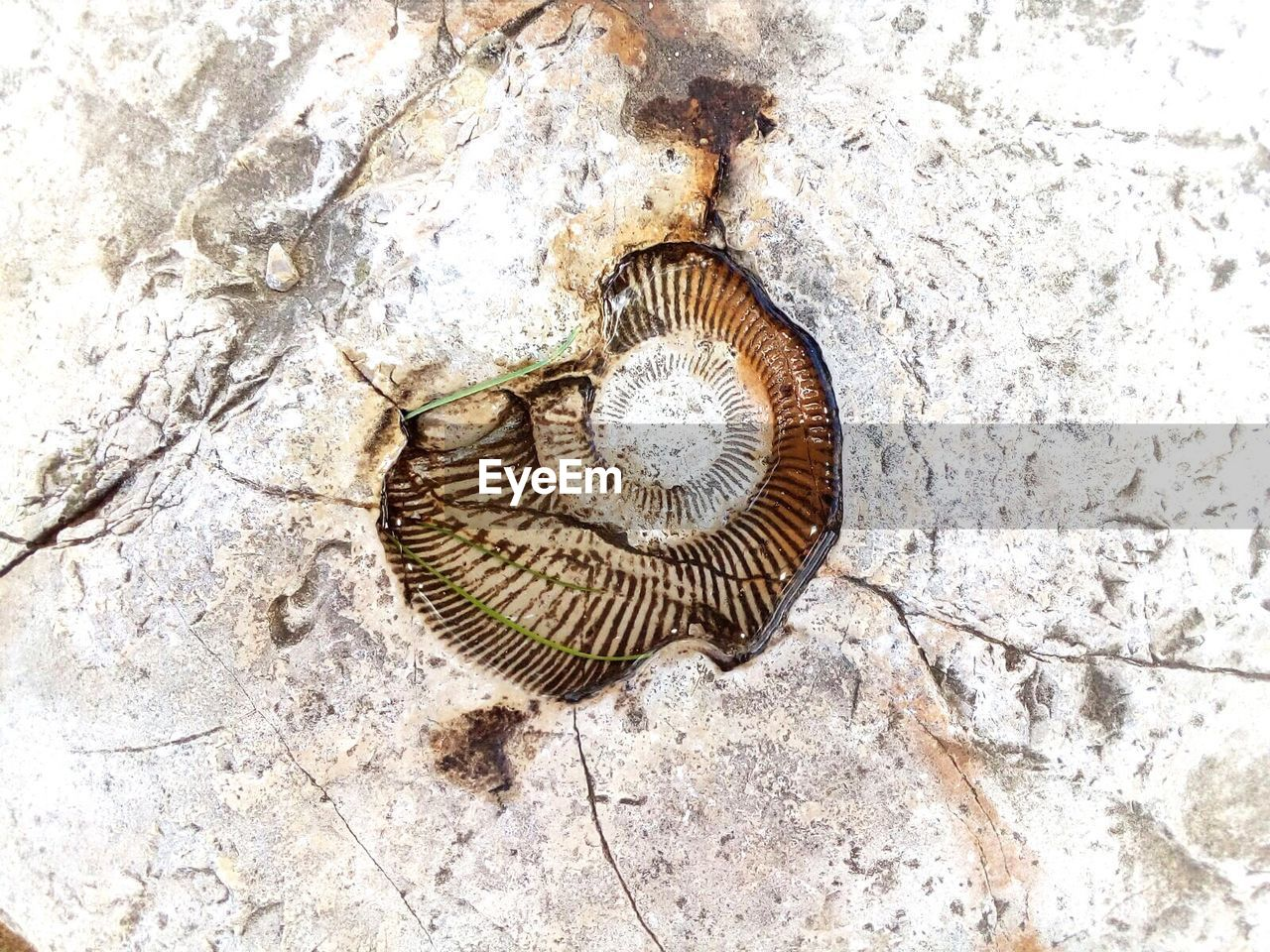 nature, snail, fossil, close-up, spiral, gastropod, no people, backgrounds, animal themes, outdoors, day, sea life