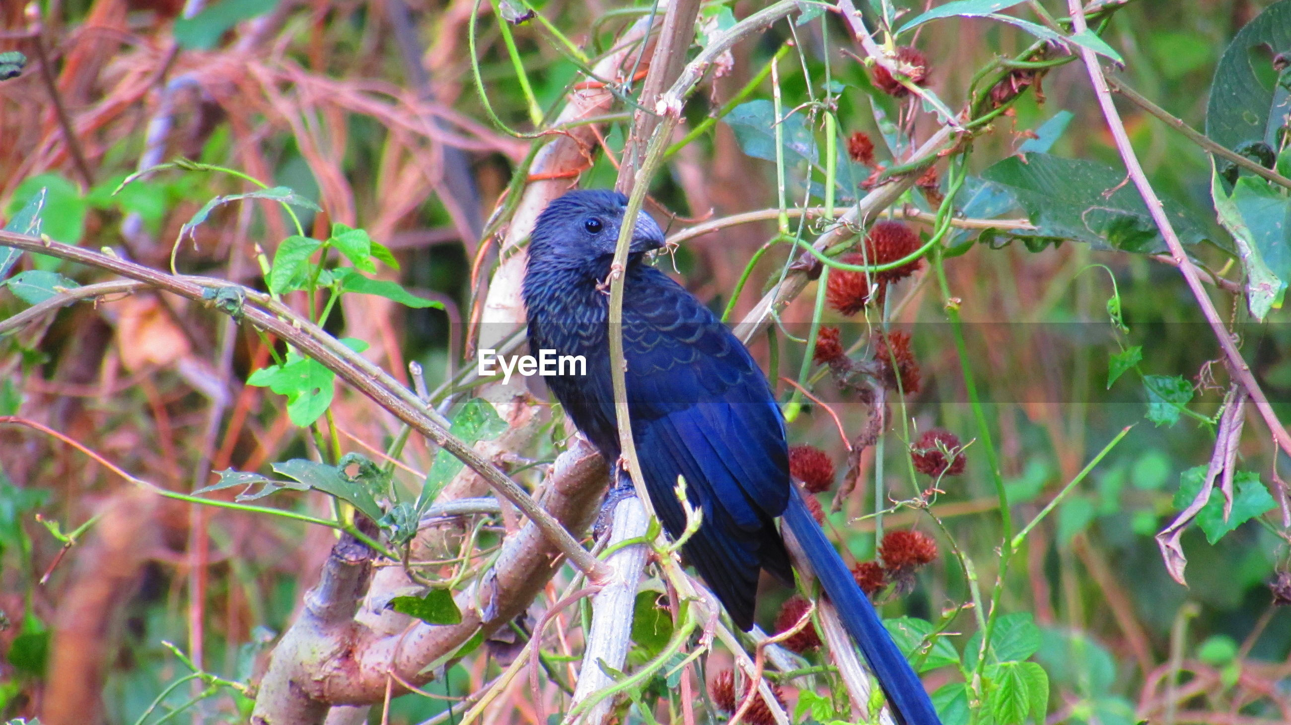 Groove-billed ani perching on branch of tree