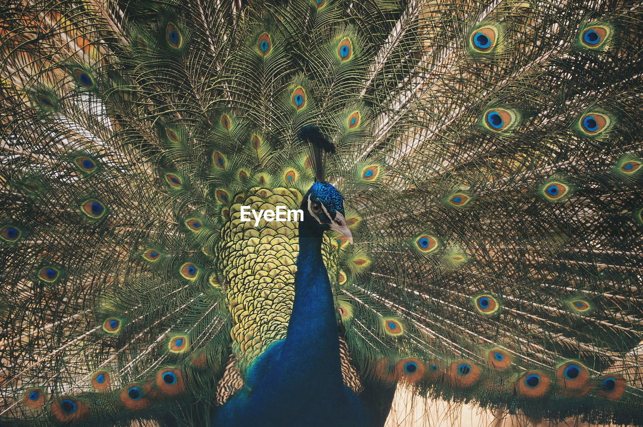 peacock, bird, vertebrate, animal wildlife, animals in the wild, fanned out, one animal, feather, peacock feather, beauty in nature, male animal, no people, day, multi colored, nature, showing, blue