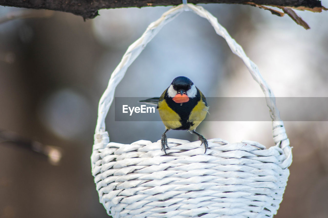 animal wildlife, bird, animals in the wild, animal, animal themes, vertebrate, one animal, perching, focus on foreground, day, no people, close-up, outdoors, nature, beauty in nature, selective focus, great tit, plant, zoology, multi colored