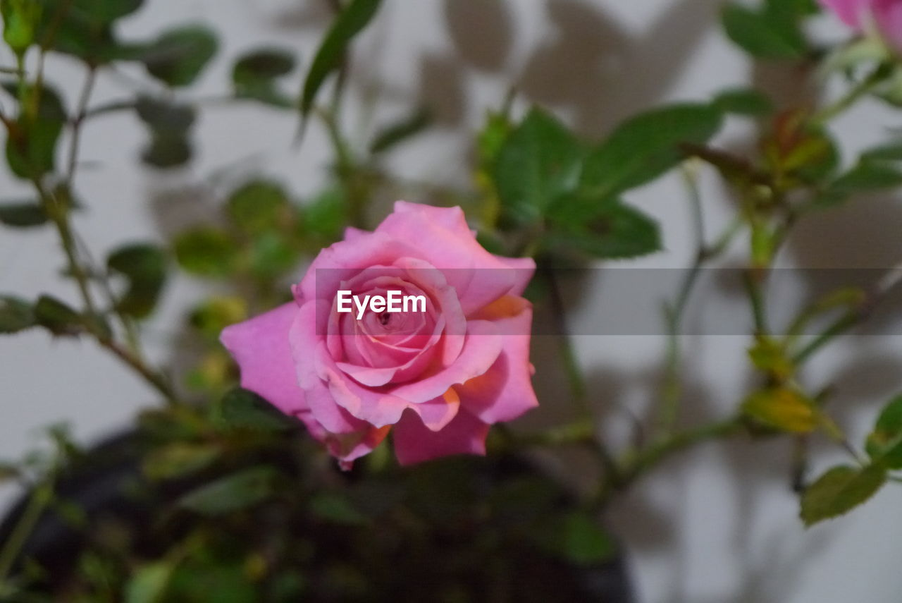 flower, petal, rose - flower, fragility, flower head, growth, nature, pink color, no people, plant, close-up, freshness, focus on foreground, beauty in nature, blooming, periwinkle, day, outdoors
