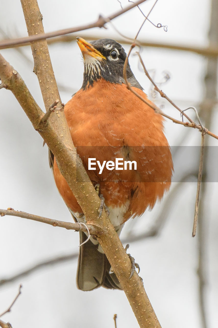 bird, vertebrate, perching, animals in the wild, animal, animal wildlife, animal themes, one animal, branch, tree, no people, focus on foreground, close-up, plant, day, nature, twig, outdoors, low angle view, selective focus