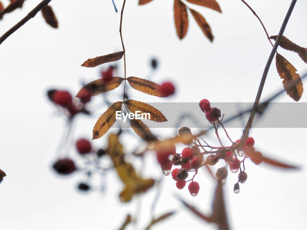 close-up, food, fruit, selective focus, food and drink, plant, healthy eating, no people, branch, tree, focus on foreground, berry fruit, growth, freshness, nature, beauty in nature, twig, day, indoors, wellbeing