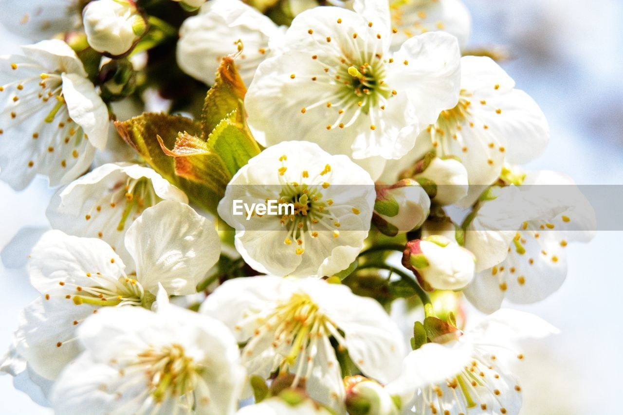 flowering plant, flower, fragility, plant, freshness, vulnerability, beauty in nature, close-up, white color, growth, petal, flower head, inflorescence, pollen, nature, no people, focus on foreground, blossom, springtime, day, cherry blossom, bunch of flowers, flower arrangement