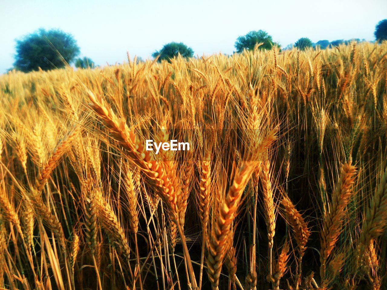 crop, rural scene, agriculture, landscape, cereal plant, plant, growth, land, farm, field, sky, nature, wheat, environment, tranquility, beauty in nature, day, no people, scenics - nature, close-up, outdoors, stalk, plantation