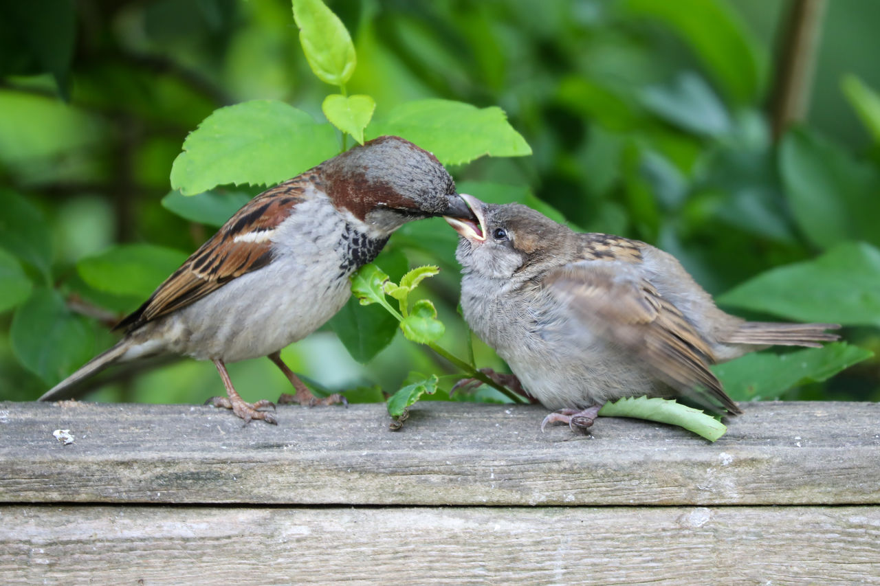 animal themes, animal wildlife, animal, animals in the wild, bird, vertebrate, group of animals, wood - material, sparrow, perching, two animals, day, focus on foreground, togetherness, no people, close-up, nature, plant part, outdoors, leaf
