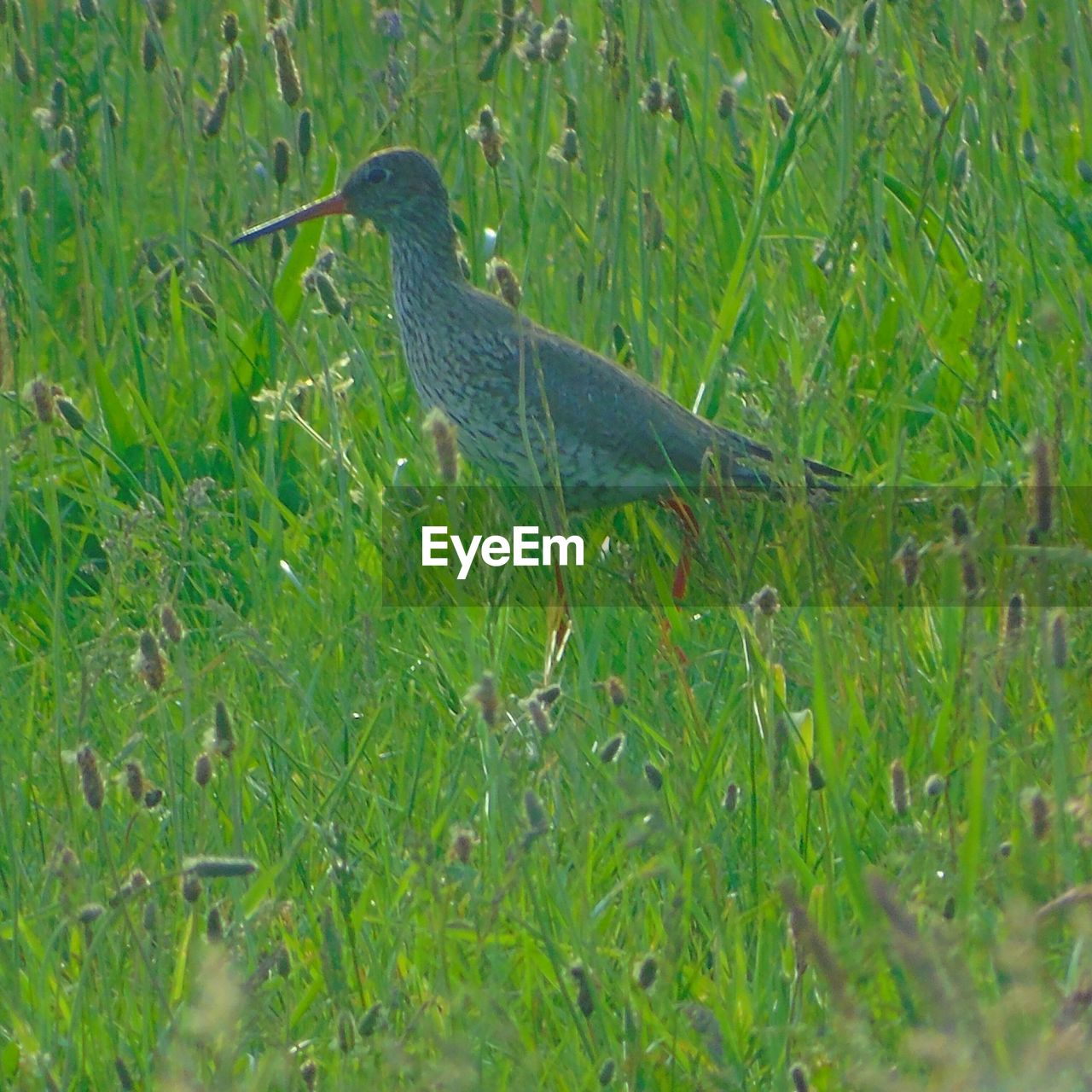 grass, one animal, nature, field, green color, animal themes, outdoors, day, no people, mammal, bird