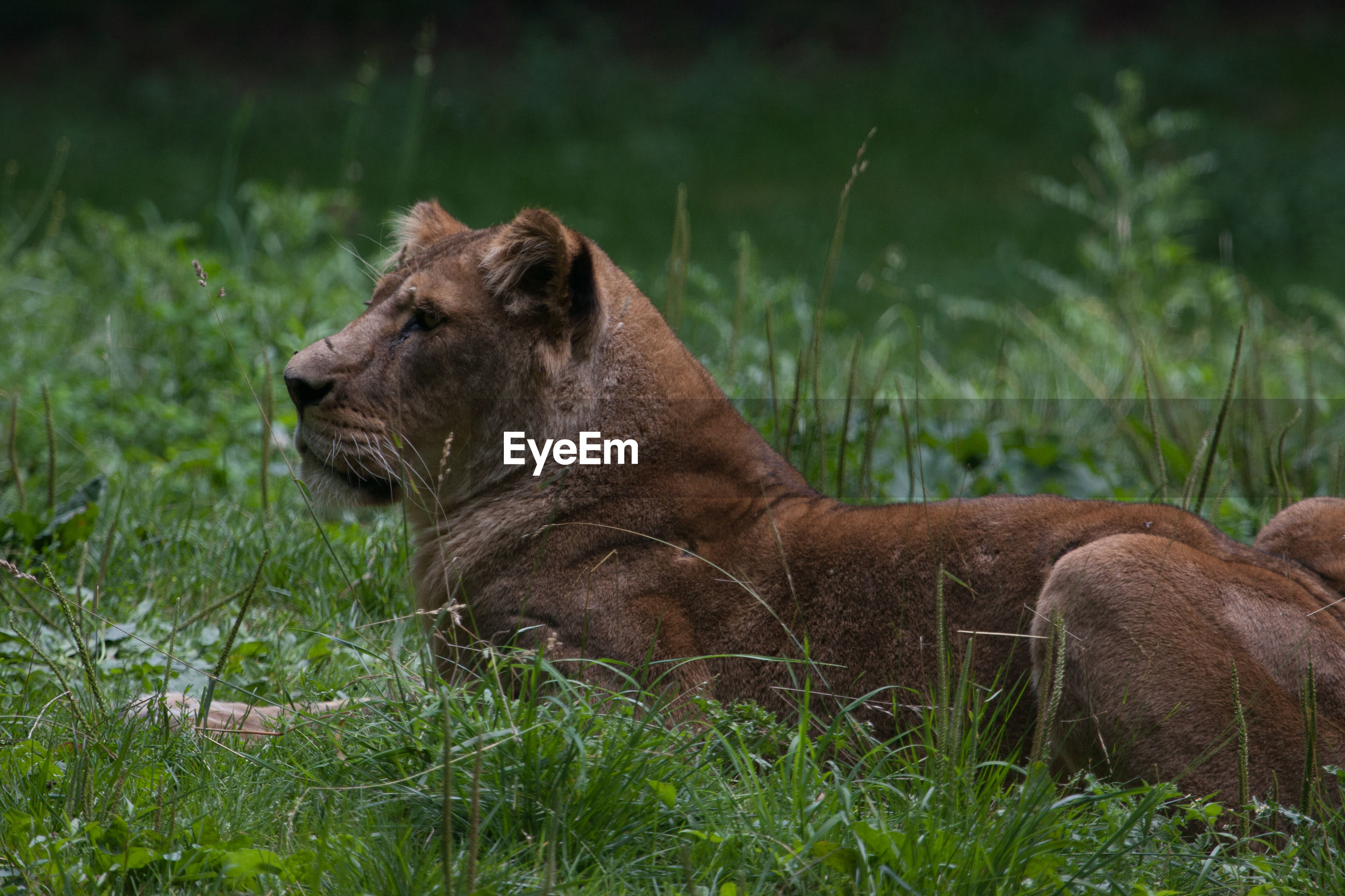 SIDE VIEW OF LION RELAXING ON FIELD