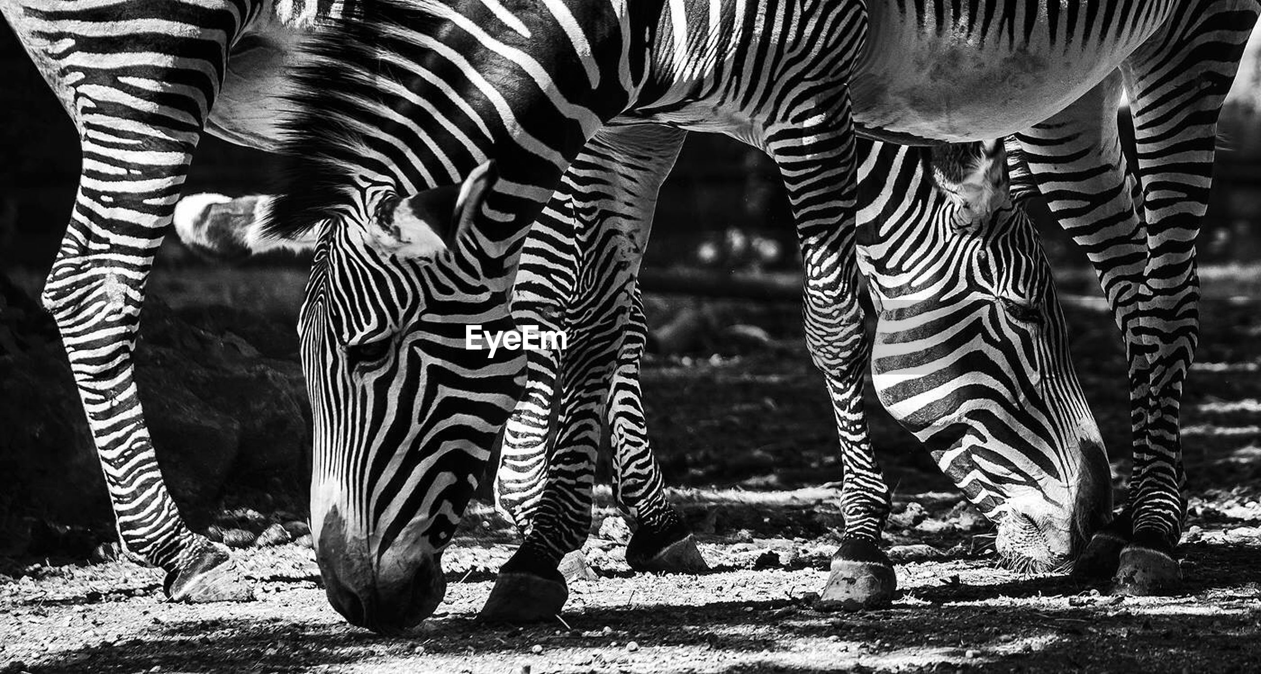 LOW SECTION OF ZEBRA WITH HORSES