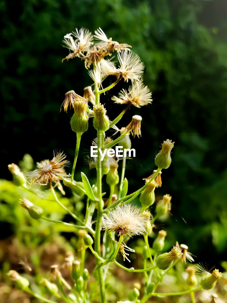 plant, flower, growth, vulnerability, flowering plant, fragility, beauty in nature, freshness, close-up, flower head, selective focus, nature, no people, inflorescence, day, focus on foreground, field, petal, outdoors, green color
