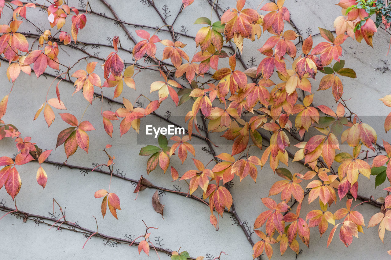 autumn, plant, plant part, leaf, beauty in nature, change, nature, no people, day, orange color, growth, branch, close-up, outdoors, tree, flower, high angle view, flowering plant, pink color, leaves, maple leaf, natural condition