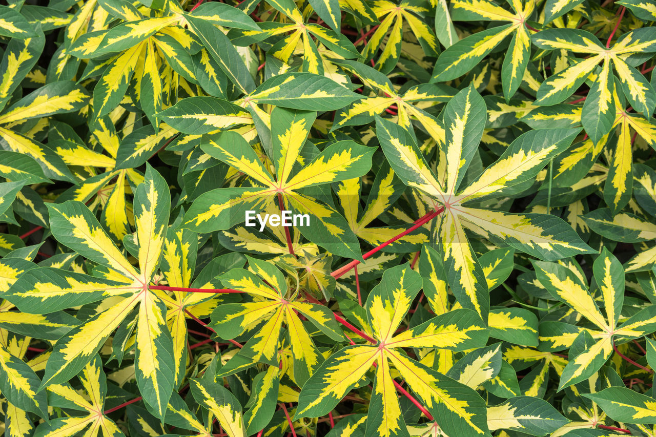 green color, leaf, plant part, growth, plant, nature, full frame, no people, backgrounds, beauty in nature, day, marijuana - herbal cannabis, close-up, high angle view, healthcare and medicine, outdoors, cannabis plant, narcotic, field, directly above, herb, leaves