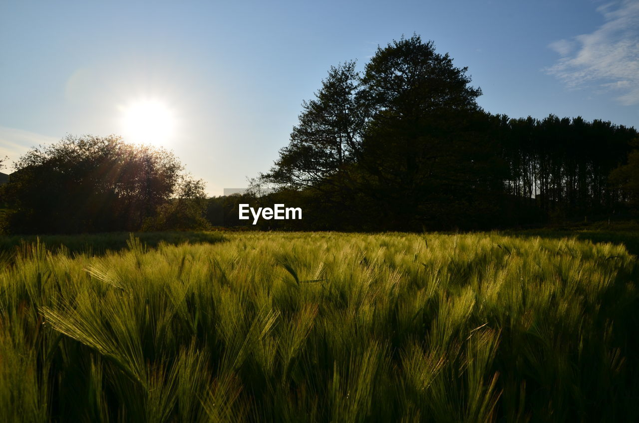 plant, growth, sky, land, field, tranquility, landscape, beauty in nature, tranquil scene, nature, tree, environment, sunlight, sun, agriculture, scenics - nature, crop, rural scene, green color, cereal plant, no people, outdoors, lens flare, bright, stalk