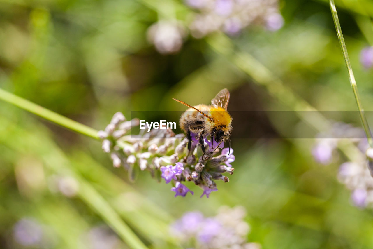 flower, flowering plant, fragility, invertebrate, insect, plant, vulnerability, animal themes, animal wildlife, animal, animals in the wild, one animal, beauty in nature, freshness, bee, flower head, growth, petal, close-up, purple, pollination, no people