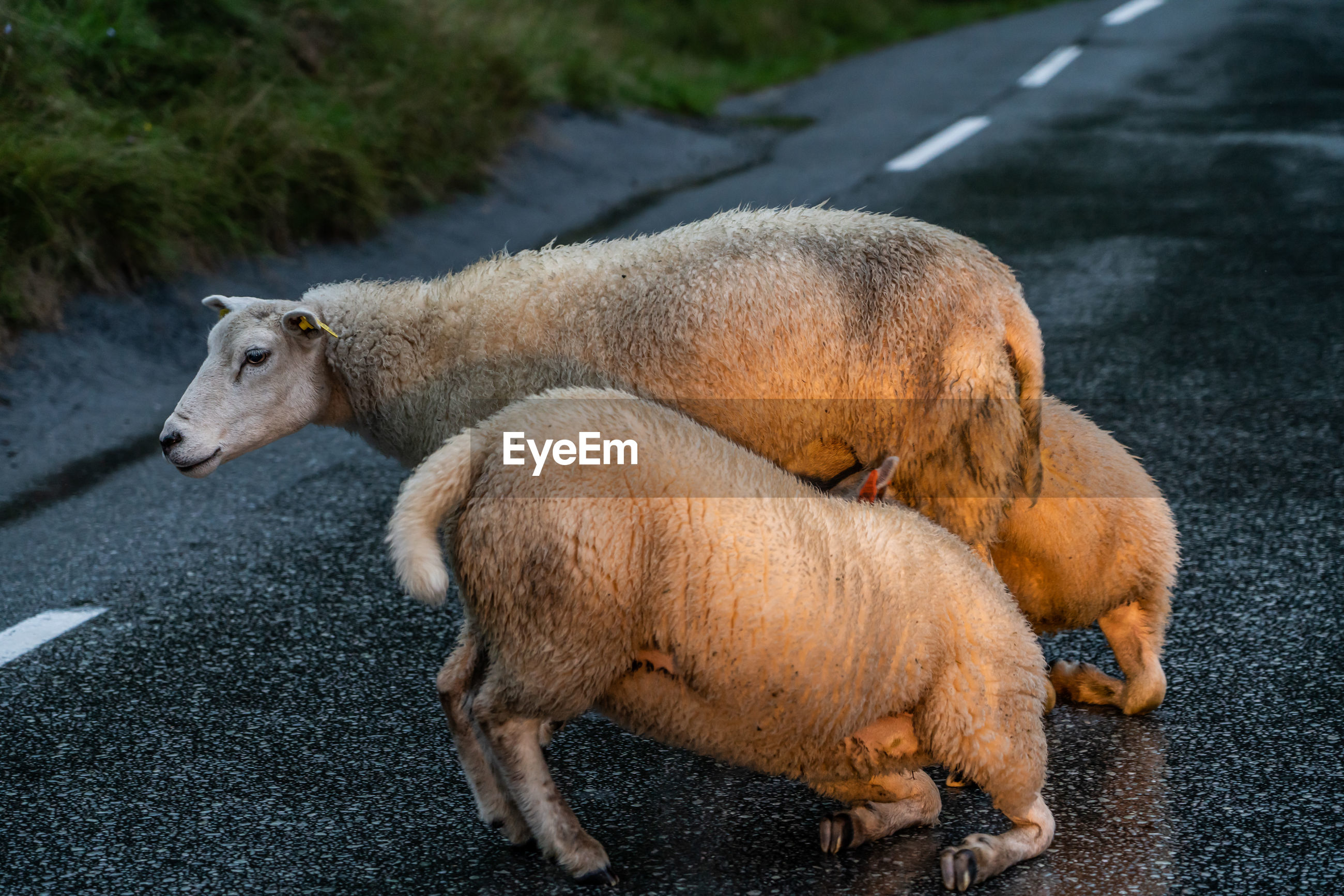 SIDE VIEW OF TWO SHEEP