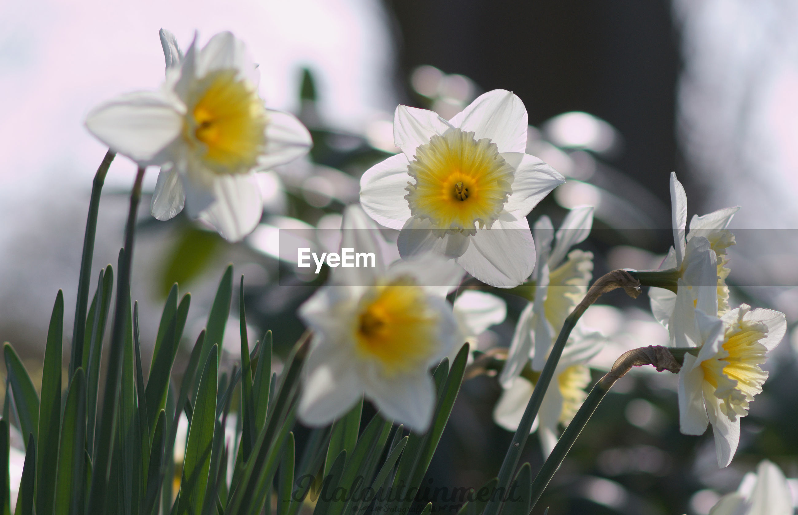 flower, petal, flower head, fragility, white color, nature, freshness, beauty in nature, growth, daffodil, no people, blooming, day, plant, yellow, close-up, outdoors
