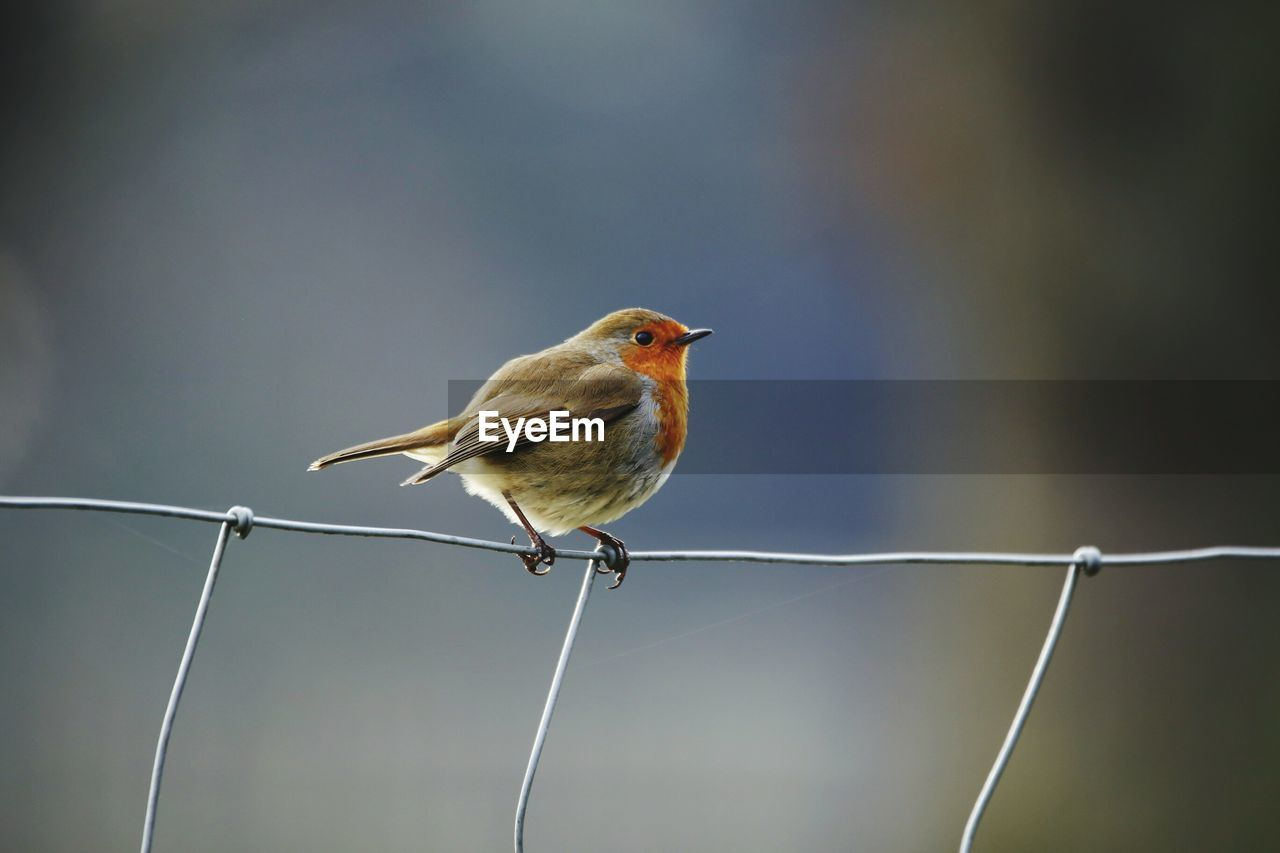 Close-Up Of European Robin Perching On Steel Cable