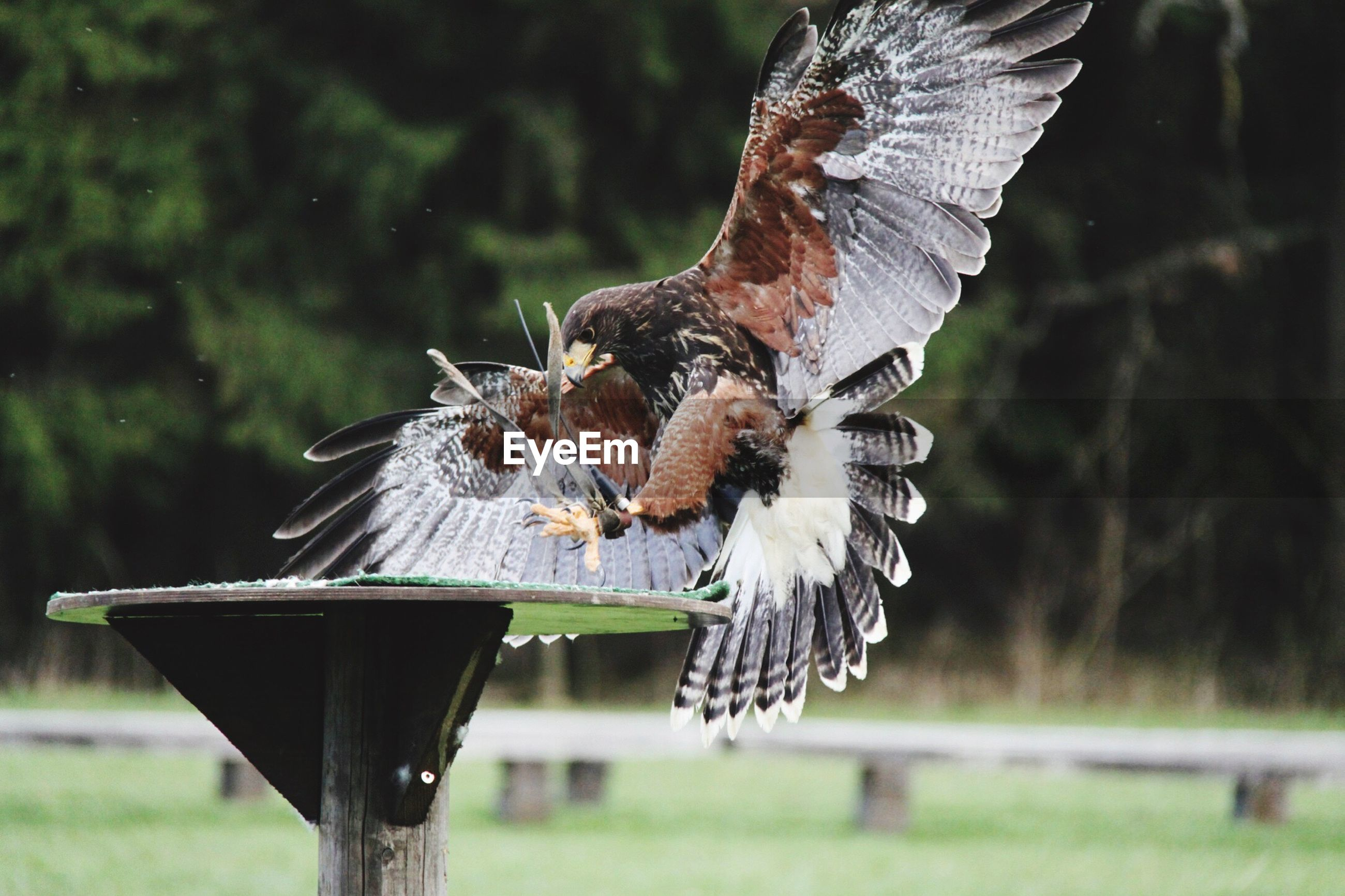Eagle landing on stand