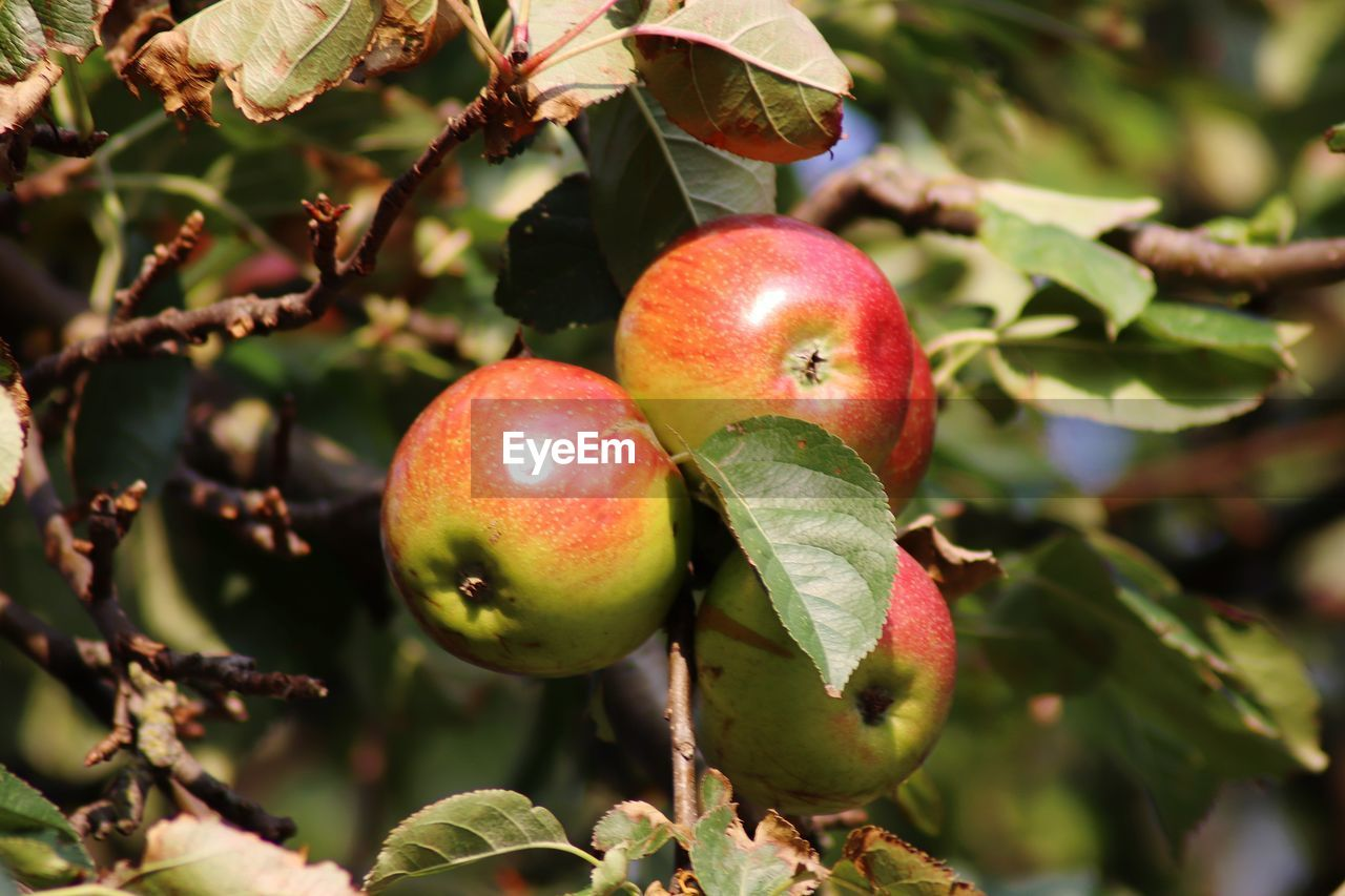 CLOSE-UP OF APPLES IN TREE