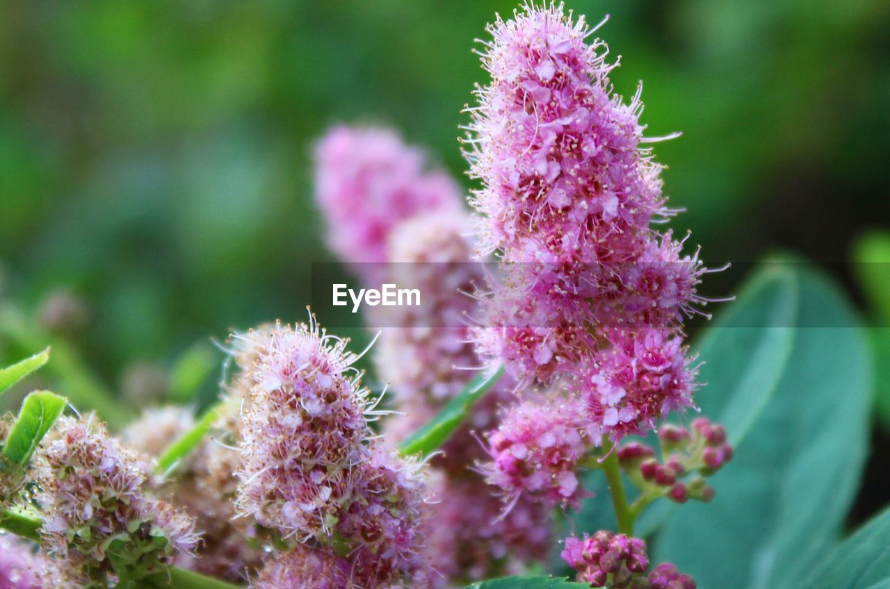 flower, growth, flowering plant, plant, pink color, fragility, vulnerability, beauty in nature, freshness, close-up, nature, no people, day, selective focus, flower head, outdoors, inflorescence, green color, focus on foreground, petal, purple, spiky