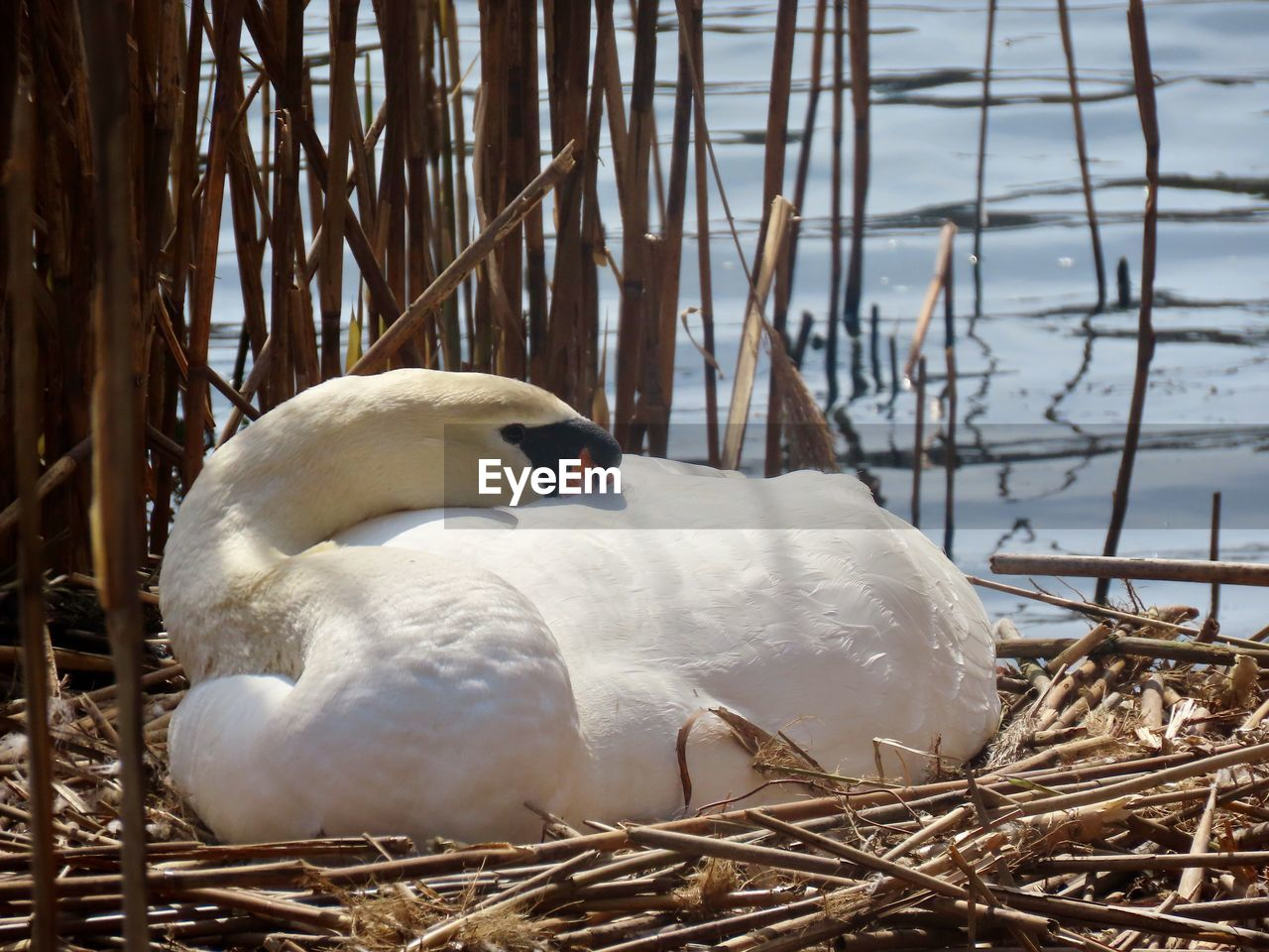 bird, animal themes, animal, vertebrate, animal wildlife, animals in the wild, one animal, nature, animal nest, water, day, white color, no people, swan, close-up, lake, water bird, plant, zoology, bird nest, outdoors, beak, animal family