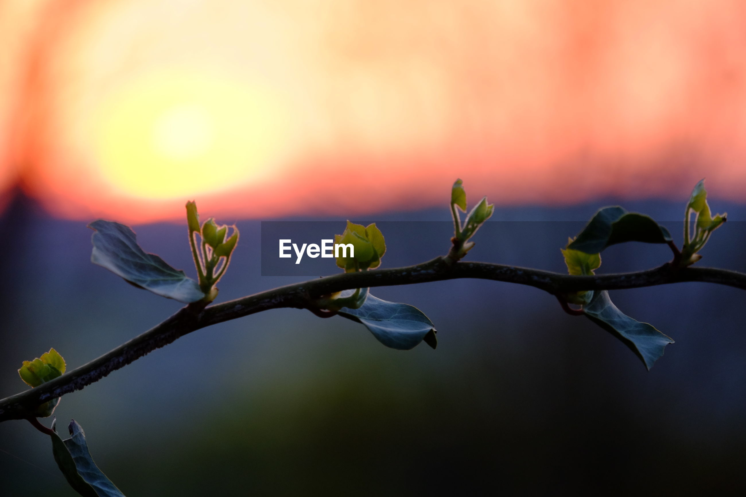 CLOSE-UP OF PLANT GROWING AGAINST SKY DURING SUNSET