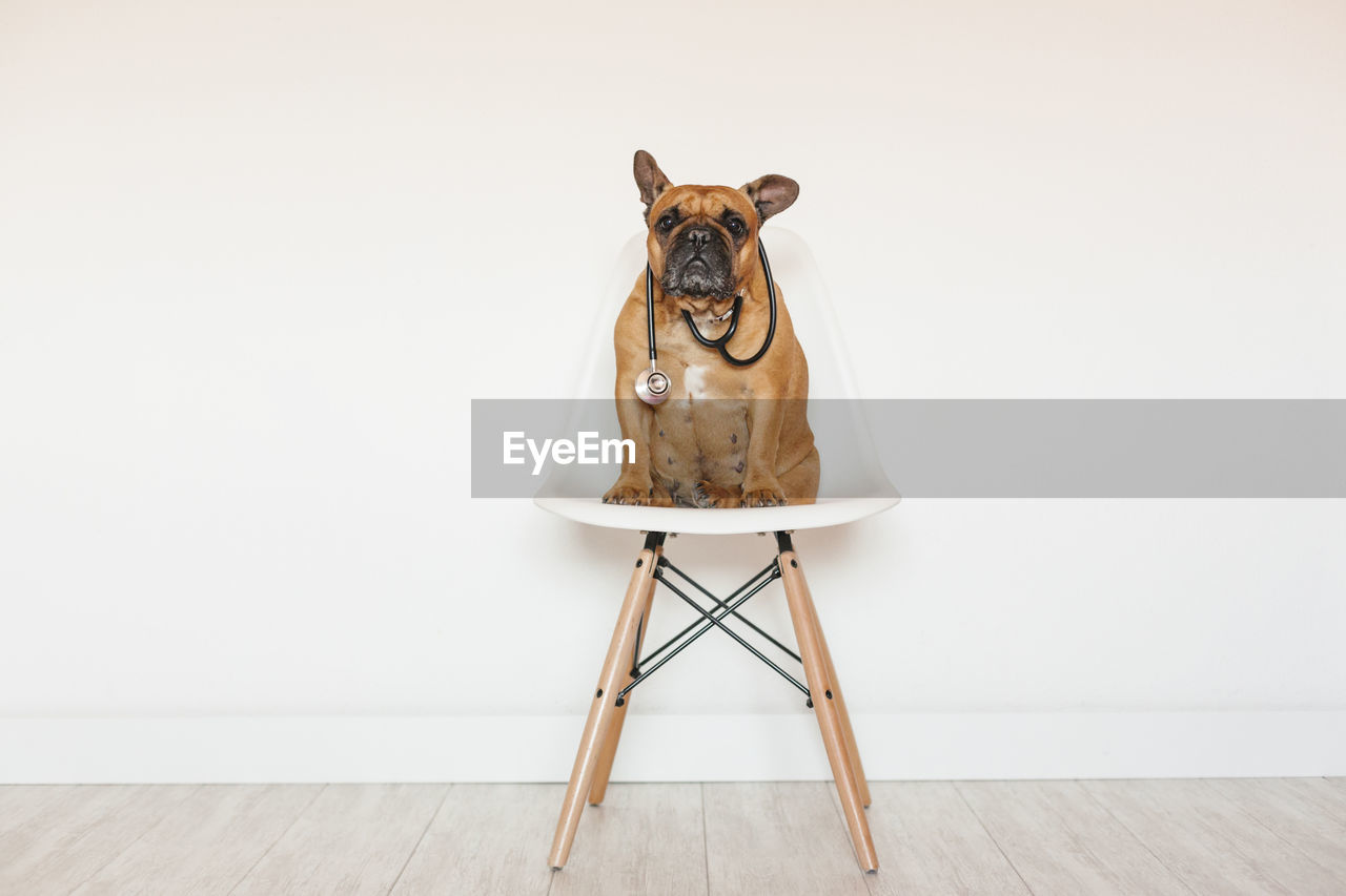 domestic animals, pets, domestic, animal themes, one animal, animal, canine, dog, mammal, indoors, vertebrate, flooring, sitting, seat, no people, hardwood floor, chair, copy space, wood - material, wood, small, jack russell terrier