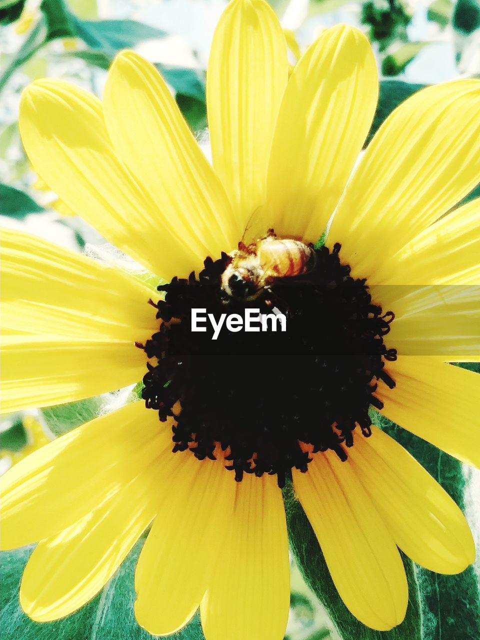 flowering plant, flower, freshness, yellow, petal, flower head, vulnerability, fragility, beauty in nature, inflorescence, growth, plant, close-up, pollen, animal themes, nature, invertebrate, insect, animal, one animal, no people, outdoors, pollination, sunflower, springtime